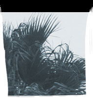 Picture of palm fronds